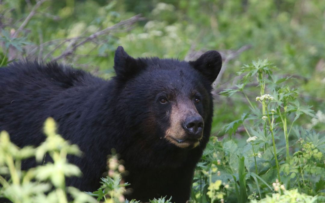 5 Tips for an Unforgettable Guided Bear Hunt in BC
