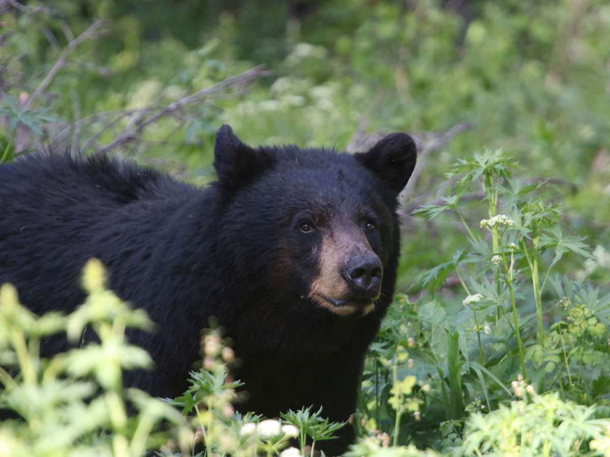 Black Bear Hunting in BC Canada
