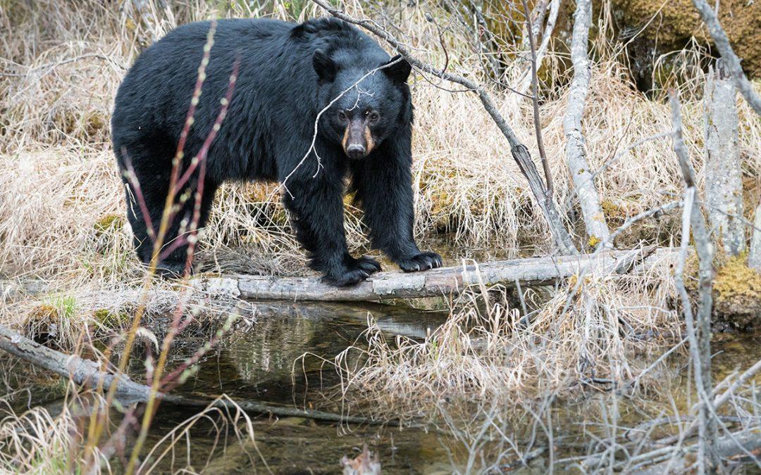 Should I Take My Kids on a BC Bear Hunt