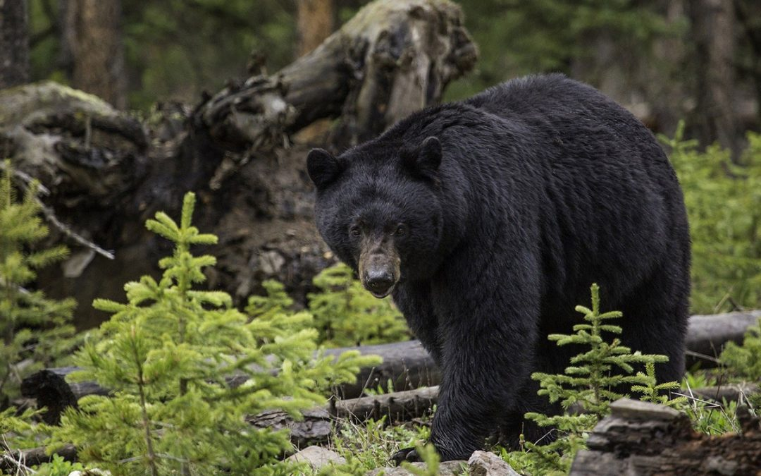Your BC Black Bear Guide to Better Stealth