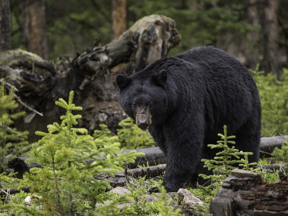 Stalking BC Black Bear Hunt