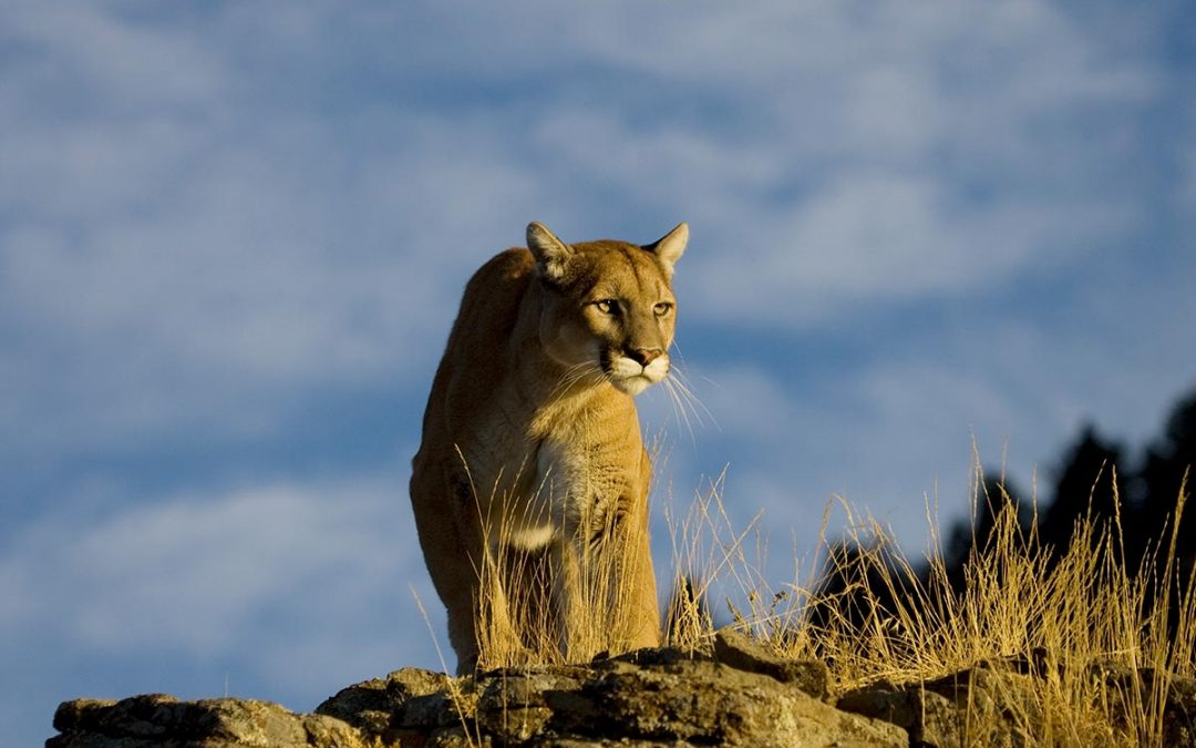The Ecology of Cougars in BC