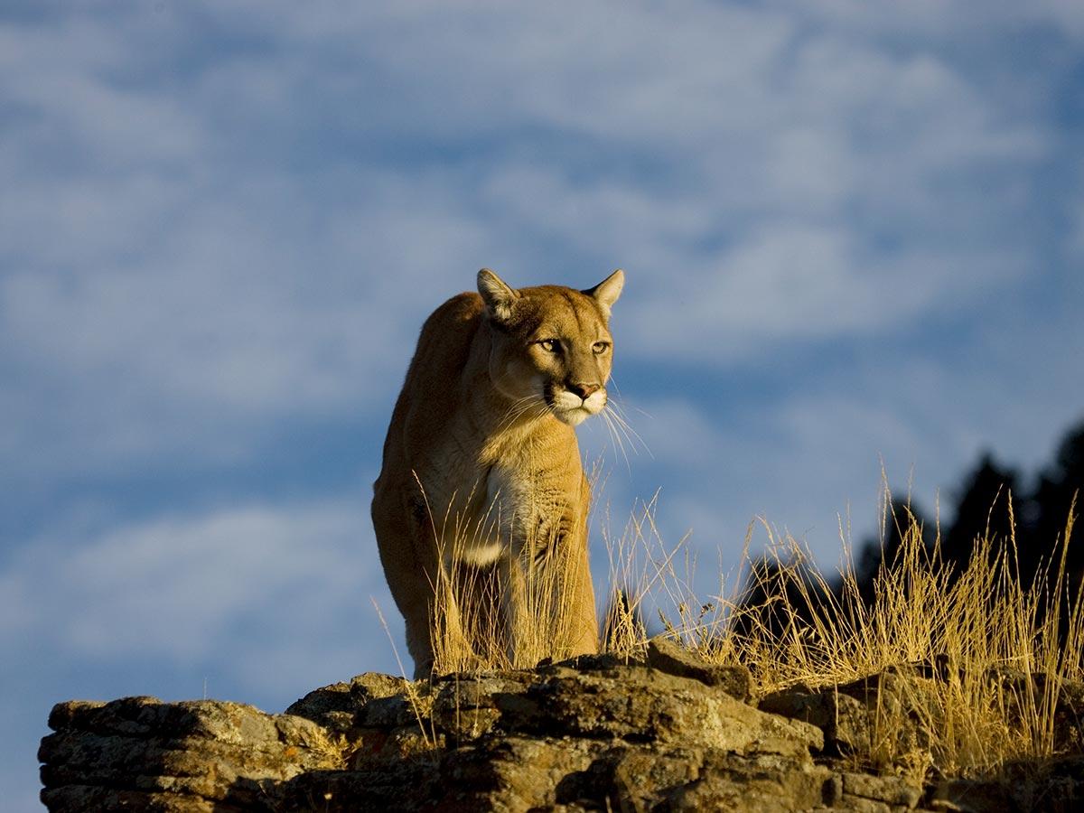 BC Cougar Hunting