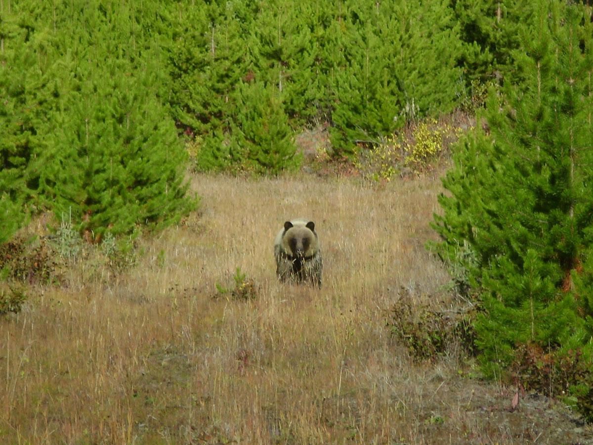 BC Bear Hunts