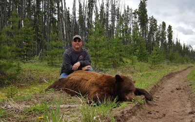 Tag a Color Phase Bear in British Columbia